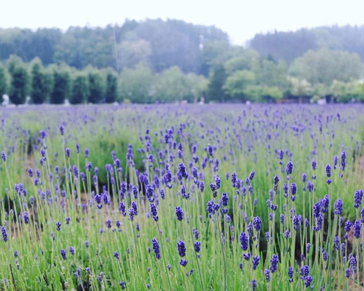 Japan lavender fields Hokkaido Furano