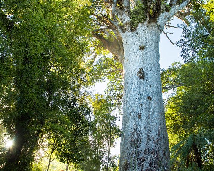 Kauri Trees Maori Culture