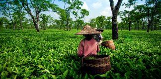 Tea Gardens In Northeast India