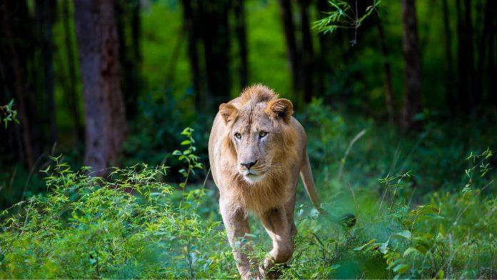 Kuno Palpur Asiatic Lion