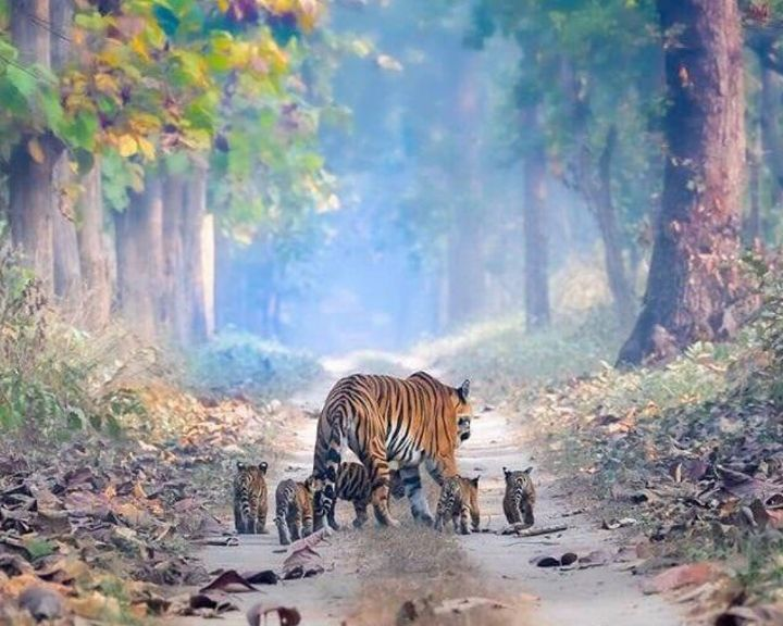 India's Tiger Population