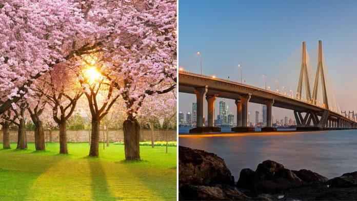 Mumbai Cherry Blossoms
