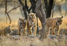 Ranthambore National Park Missing Tigers
