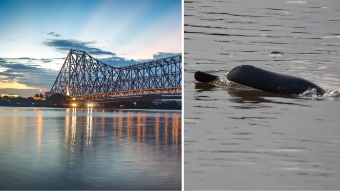 Gangetic dolphins spotted in kolkata
