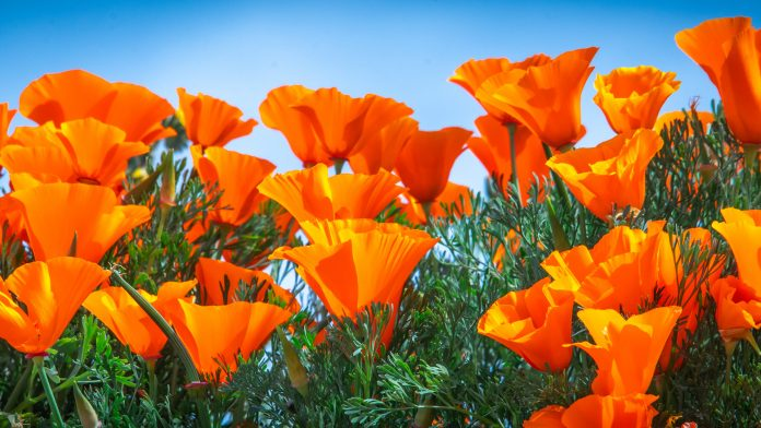 California's Wildflower Orange Super Bloom