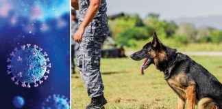 Dogs May Sniff Out COVID-19