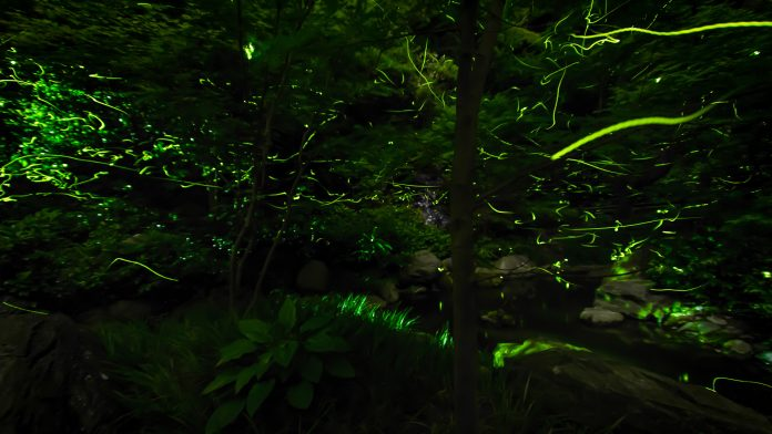 Fireflies At Japan's Tatsuno