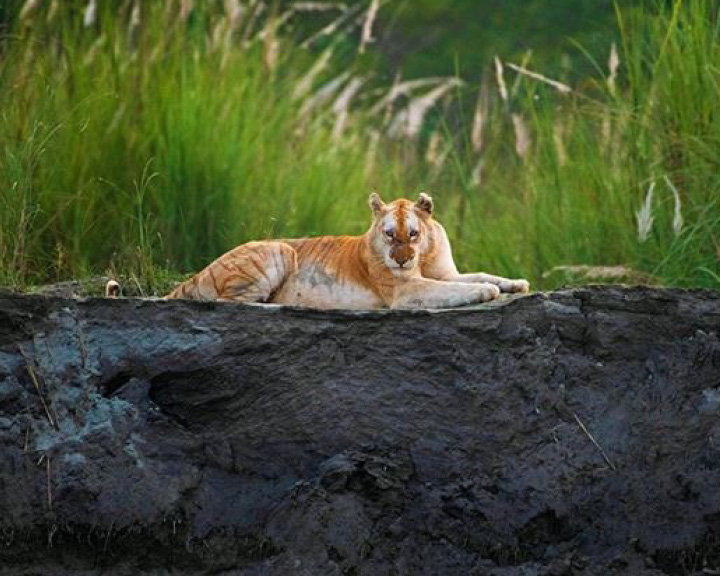 Golden Tiger In India
