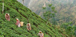 Homegrown Tea Brand